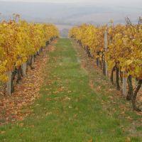 Podzim ve vinici nad Piešťanami