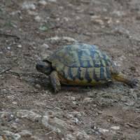 Jakupica, želva