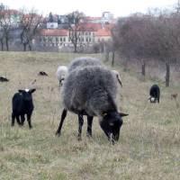 Pasení ovcí na Kraví hoře u Znojma
