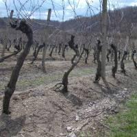 Šobes a jeho vyhlášená vinice