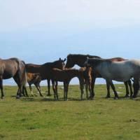 Koně na Retezatu