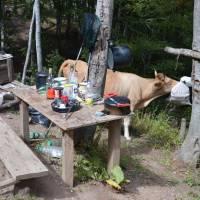 Trnovačko jezero: u chaty správce přírodního parku Maglić; kráva ožírá zásoby chleba