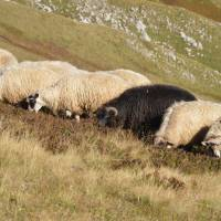 Ovce na Zelengoře