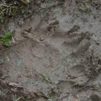 Zcela čerstvá stopa medvěda