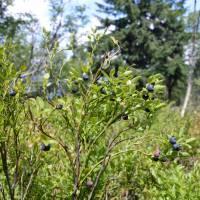 Minčol, nejvyšší vrchol Oravské Magury, plantáže borůvek