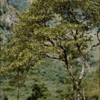 Strom pěnišník (Rhododendron)