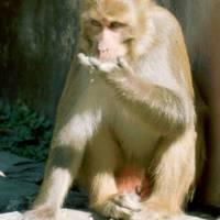 Pašupatináth: opice Makak