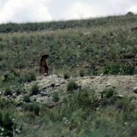 Pláně Deosai Plains, svišť