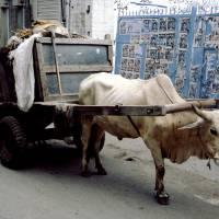 Láhaur, býk s odpadky