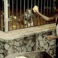 Láhaur, ZOO, krmení opičky