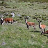 Cairngorm, jezero Loch Muick, jeleni na jezerem