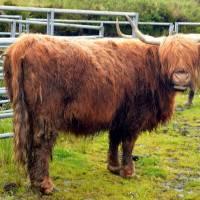 Skye, skotský náhorní skot