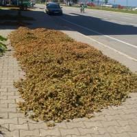 Sušení lískových oříšků u hlavní silnice