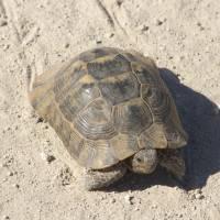 Kapadocie, želva