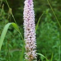 Šar planina, orchidej