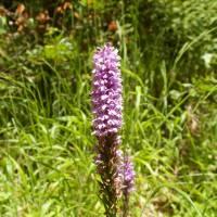pohoří Baba, orchidej