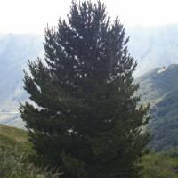 pohoří Baba, borovice rumelská