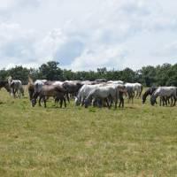 Národný žrebčín Topolčianky, národní koně