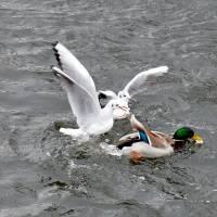 Racek chechtavý a kachna divoká