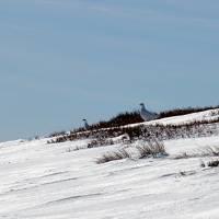 Bělokur horský - alpská slepice