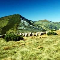 Rodna – ovce